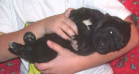 Image of 2 week old Newfoundland pup.