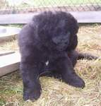 Image of 4 week old Newfoundland pup.