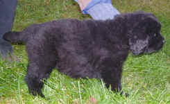 Image of 5 week old Newfoundland pup.