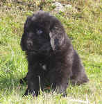 Image of 6 week old Newfoundland pup.