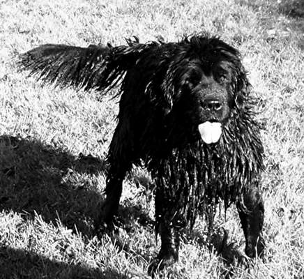 Newfoundland dog image:  Rosie, ready for action!
