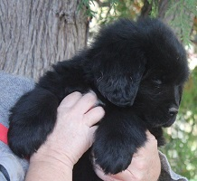 Newfoundland puppy: Rouge