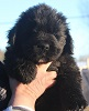 Newfoundland pup: Caramor's Salty Dog 'Sailor' (Ike x Willow)
