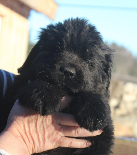 Newfoundland puppy: Finley at 6 weeks
