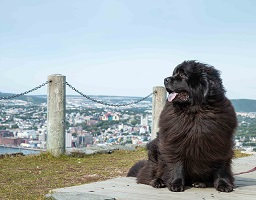 Newfoundland dog Tillie at Signal Hill, Nfld