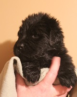Newfoundland pup image: Trent at 3 weeks