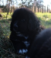 Photo of Newfoundland puppy: Tux