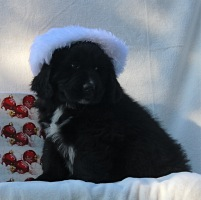 Photo of Newfoundland puppy: Fergus @ 8 weeks