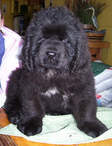 Newfoundland pup 'Ursi of Caramor's (Boss x Cookie)