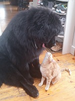 Newfoundland dog: Zeus with his cat 'Shermie'