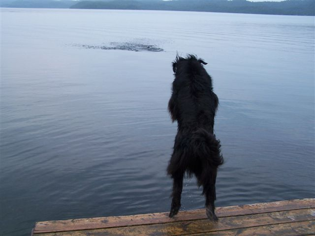 Newfoundland dog photo:  Zoey jumping into the lake